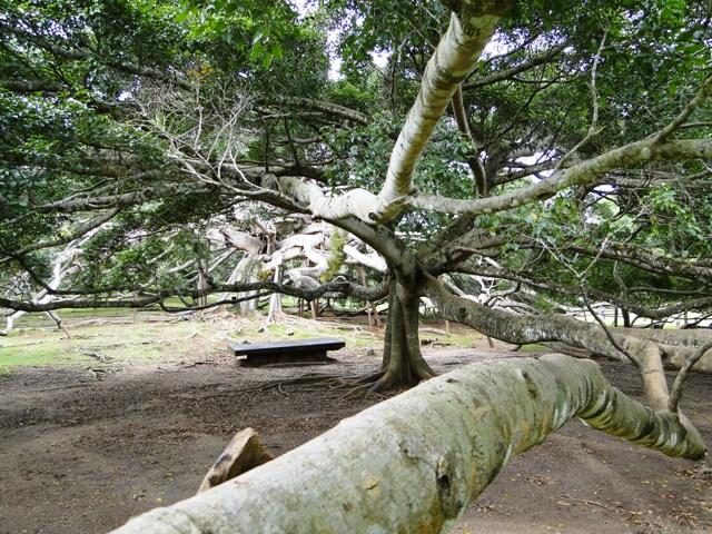 Królewski Ogród Botaniczny Kandy Peradeniya - największy na świecie fikus benjamina (2011)