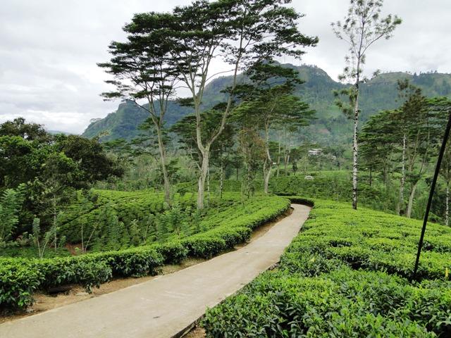 W drodze do Nuwara Eliya - jedna z wielu plantacji herbaty w tym regionie (2011)