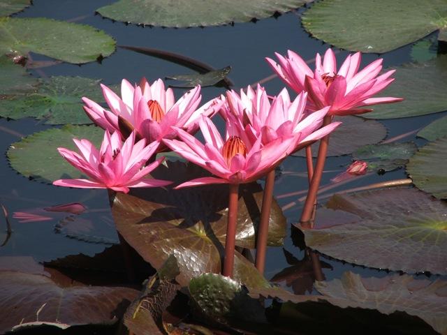Lilie wodne w Parku historycznym Sukhothai (2009)