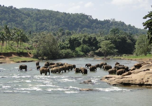 Słonie z sierocińca Pinnawela Elephant Orphanage kąpiące się w rzece Maha Oya (Pinnawela, 2011)