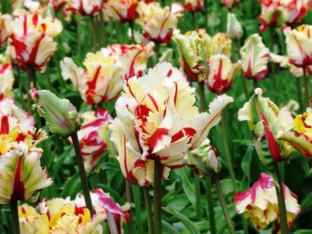Tulipany w Parku Keukenhof (Holandia, 2008)