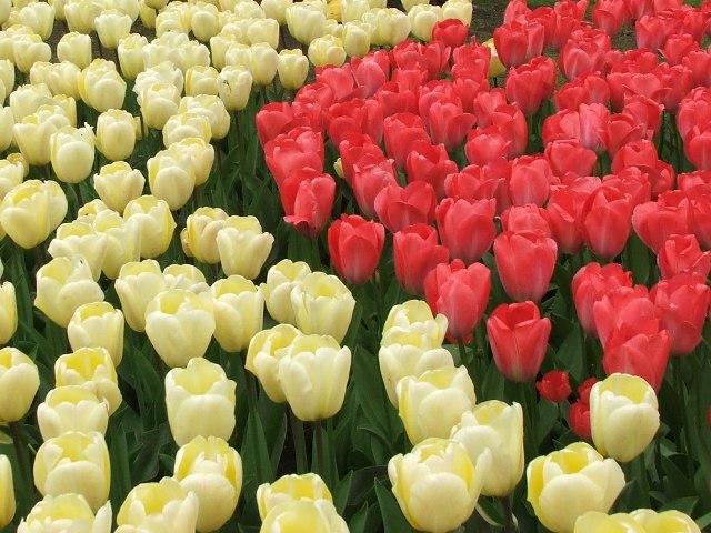 Tulipany (Holandia, 2008)