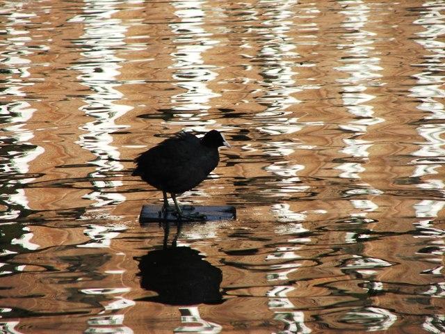 Ptaki wodne w Amsterdamie (2008)