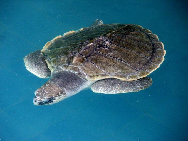 Żółw w Phuket Aquarium (2010)